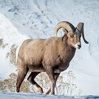 Красная книга Республики Саха (Якутия): Животные