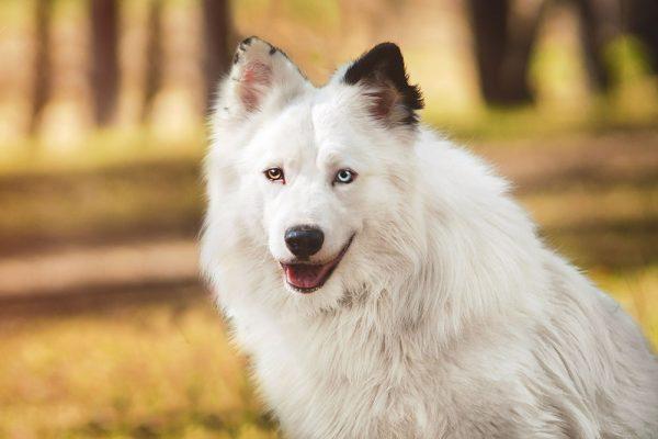 Собака якутская лайка