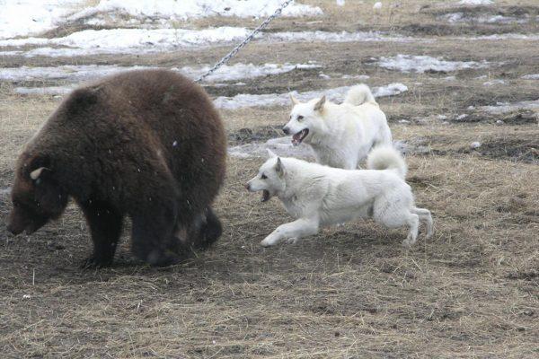 Якутская охотничья лайка