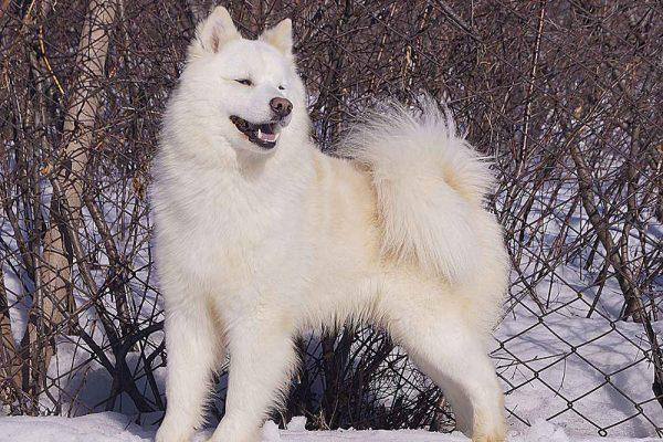 Якутская лайка зимой